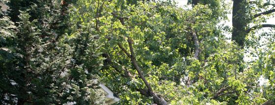 Orlando Tree Removal